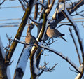 Doves on branches with snow in the winter Stock Photos