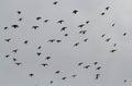 Doves On Flight