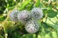 Downy burdock or woolly burdock arctium tomentosum flowerbud with dewdrops Stock Images