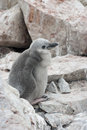 Downy chick Antarctic penguin. Stock Photo