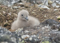 Downy chick South Polar skua sitting among the rocks. Stock Image