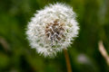 Downy ripe seed head of the dandelion closeup Royalty Free Stock Photo