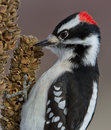 Downy Woodpecker Stock Image