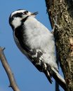 Downy Woodpecker Stock Photos