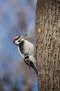Downy woodpecker on an Ash tree in wintertime