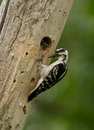 Downy Woodpecker and baby Stock Photo