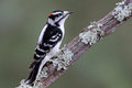 Downy Woodpecker on a Branch Royalty Free Stock Photo