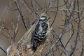 Downy woodpecker clinging to a dead tree stump Royalty Free Stock Images
