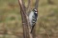 Downy woodpecker clinging to a tree trunk Royalty Free Stock Photo