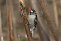 Downy woodpecker clinging to a tree trunk Stock Images