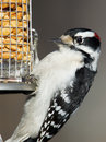 Downy woodpecker at feeder male clinging to a peanut Stock Image