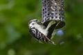 Downy woodpecker feeding at a peanut feeder Stock Photos
