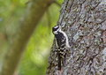 Downy woodpecker female perched on a pine tree Royalty Free Stock Photos