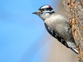 Downy woodpecker male climbing a tree Stock Photos