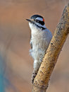 Downy woodpecker male climbing up a tree Royalty Free Stock Photo