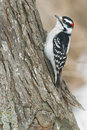 Downy woodpecker male perched on a tree trunk Stock Image