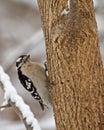 Downy Woodpecker, Picoides pubescens Royalty Free Stock Photo
