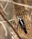 Downy woodpecker, Picoides pubescens Royalty Free Stock Image