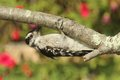 Downy woodpecker picoides pubescens female on a perch with flowers in the background Stock Image