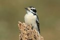 Downy woodpecker picoides pubescens on a rotting stump with a green background Royalty Free Stock Images