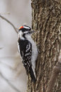 Downy woodpecker picoides pubescens in winter Stock Photos