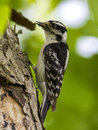 Downy woodpecker picture of a at point pelee Royalty Free Stock Images