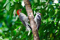 Downy Woodpecker & Red-Bellied Woodpecker Royalty Free Stock Images
