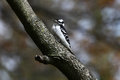 Downy woodpecker a sitting in a dogwood tree Royalty Free Stock Photography