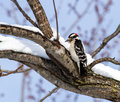 A Downy Woodpecker On A Snow Covered Limb Royalty Free Stock Photo