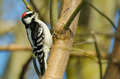 Downy woodpecker the is a species of the smallest in north america Stock Photos