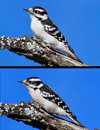 Downy Woodpeckers (picoides pubescens) Stock Photo