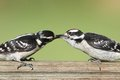 Downy woodpeckers picoides pubescens female woodpecker on a perch feeding her baby Royalty Free Stock Images