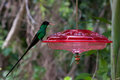 Dr bird hummingbird swallow tail at a feeder in jamaica also know as doctor the national of jamaica Stock Photos