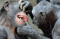 Dr chimp recommends good dental work chimpanzee tells his fellow to open wide for a check up need to make sure teeth are brushed Royalty Free Stock Photo