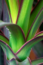Dracaena draco (dragon tree) Stock Images