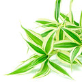 Dracaena foliage leaves of reflexa song of india isolated on a white background Stock Photography