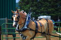 Draft horse competition at montgomery county agriculture fair maryland usa Stock Photography