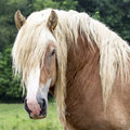 Draft horse head square image of a stud Royalty Free Stock Images