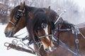 Draft horse portrait horses in winter Stock Photo