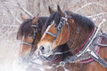 Draft horse portrait horses in winter Royalty Free Stock Images