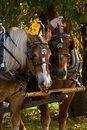 Draft Horses Stock Image