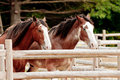 Draft horses this image of a pair of was captured in maine the are perfectly aligned and they held that pose for a short Royalty Free Stock Images