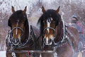 Draft horses portrait in winter Stock Image