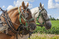 Draft horses an unmatched team of in harness on the farm Royalty Free Stock Image