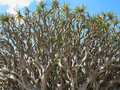 Dragon blood tree twisted branches the of a widely branching and resembling an inside out umbrella this one is a specimen in the Stock Images