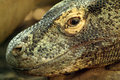 Dragon de Komodo (Varanus komodoensis) Lizenzfreie Stockfotografie