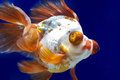 Dragon eye Goldfish in Fish Tank Royalty Free Stock Images