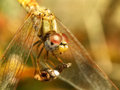 Dragon eyes and wings a close up view of the of a dragonfly Royalty Free Stock Photos