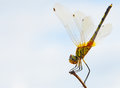 Dragon fly beautiful on a branch Royalty Free Stock Photography