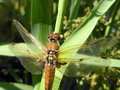Dragon fly brown on green reed Stock Photography